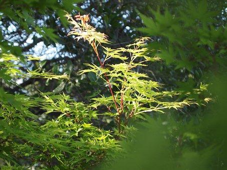 Maple, Japanese Maple, Tree, Nature, Garden, Leaf