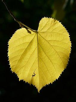 Lipovina, Leaves, Linde, Light, Shadow