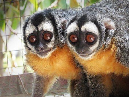 Mono Musmuqui, Mono, Ape, Animal, Macaco, Africa