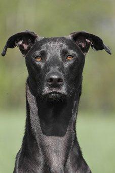 Dog, Portrait, Galgo, Black, Summer, Noble