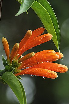 Orange Trumpet, Bloom, Orange, Flowers