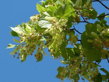 Linde, Construction, Pods, Lime Blossom, Leaf, Lipovina