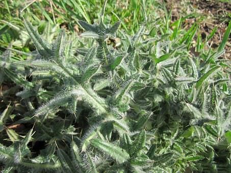 Carduus Acanthoides, Spiny Plumeless Thistle