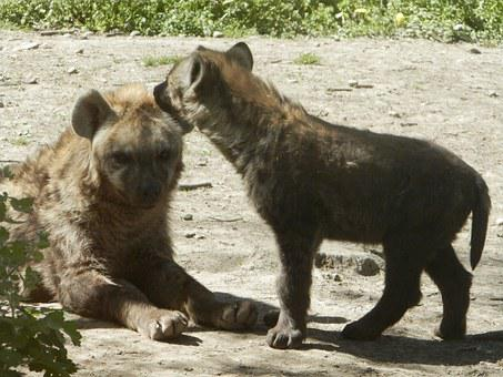 Spotted Hyena, Puppy, Zoo