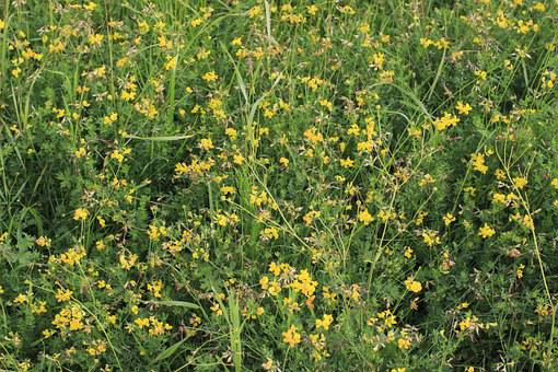 Grass, Flowers, Field, Steppe, Yellow, Fine, A Lot