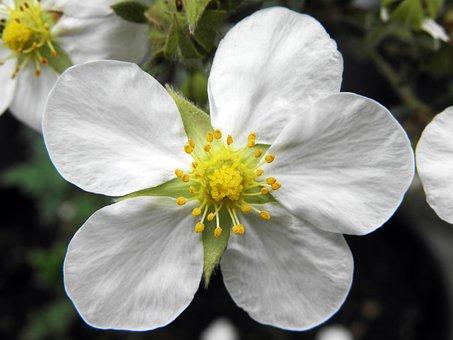 Tilford Cream Cinquefoil, Garden, Nature, White Flower