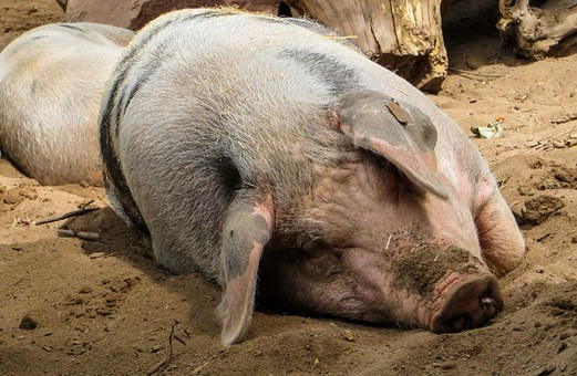 Pig, Domestic Pig, Farm, Agriculture, Wallow, Sleep