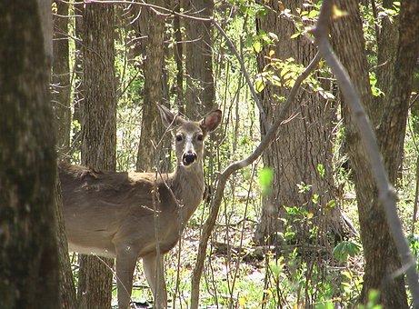 Deer, Whitetailed, Forest, Looking, Alert, Wildlife