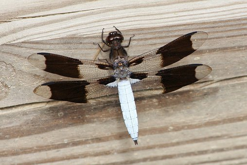 Insect, Wing, Wildlife, Bug, Small, Wild, Entomology