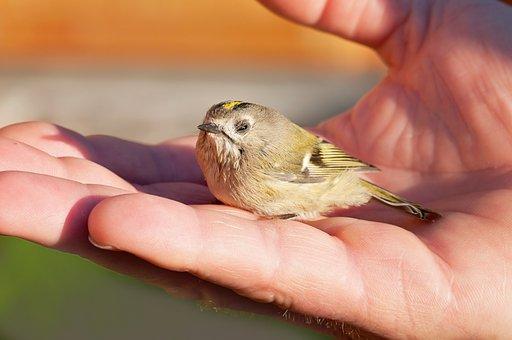 Bird, Young Bird, Goldcrest, Animal, Weakened, Hand