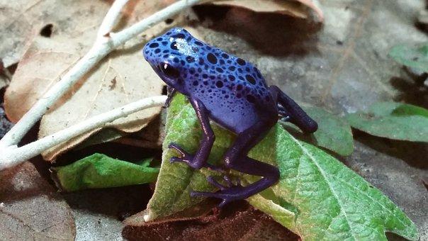 Frog, Azuleus, Amphibious