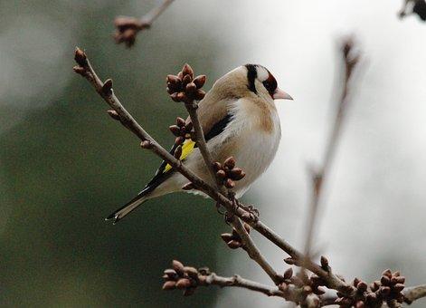 Stieglitz, Bird, Branch, Wing, Animal, Bill, Feather