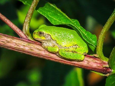 Frog, Animal, Amphibian, Gray Tree Frog