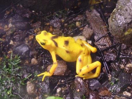 Frog, Yellow, Colorful, Nature, Animal, Poisonous