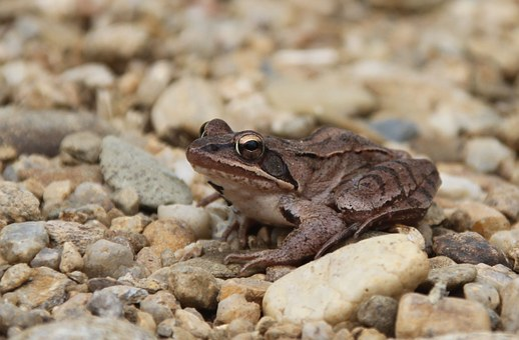 Frog, Amphibian, Animals, Stream Bank, Small Stones