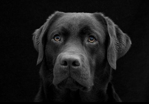 Dog, The Most Obvious, Labrador, Black, Dark, Dog Face