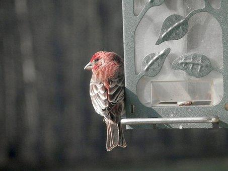House Finch, Bird Feeder, Close-up, Bird, Fly, Wings