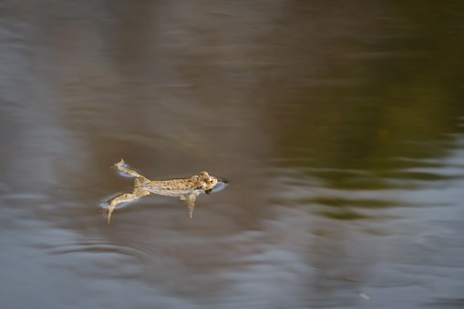 Common Toad, Amphibian, Animal, Nature, Water, Creature