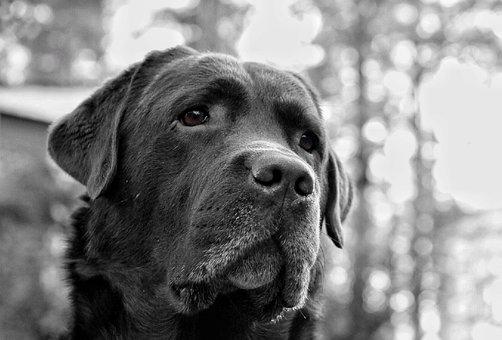 Dog, The Most Obvious, Labrador, Sad, Sad Eyes