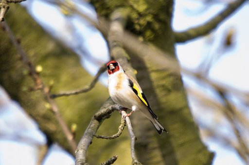 Bird, Chetna Sabharwal, European Goldfinch, Finch