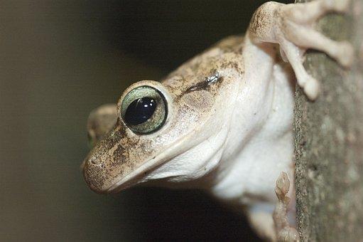 Frog, Eye, Venezuela, Gerardo, Nature, Animals