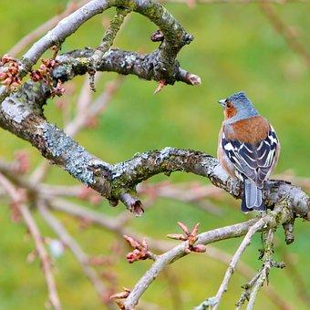Bird, Chaffinch, Wildlife, Animal, Garden, Small, Finch
