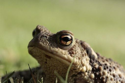 Frog, Toad, Eyes, Amphibian, Head, Close, Animal World