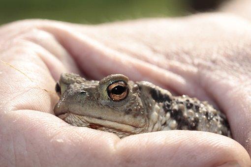 Frog, Toad, Eyes, Amphibian, Head, Hand, Close