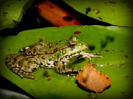 Frog, Gerardo, Water Lily