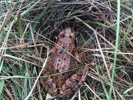 Toad, Grass, Amphibians, Frog, Autumn, Common Toad
