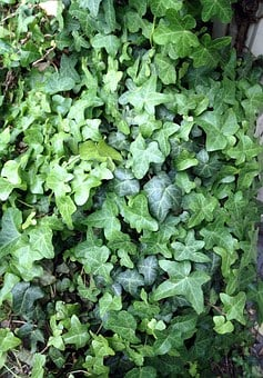 Ivy, Plant, Green, Climber, Leaves, Close, Common Ivy