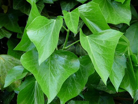 Ivy Leaves, Ivy, Leaves, Green, Ivy Growth, Fouling