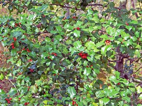 Holly, Holly Berries, Holly Bush, Holly Tree