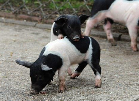 German Saddle Pigs, Piglet, Domestic Pig, Livestock