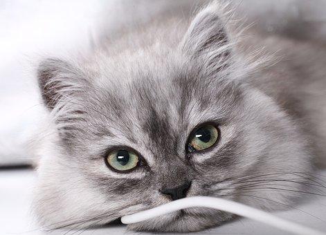 Kitten, Janjira, Eye, Mao, Cute, Moe, Line