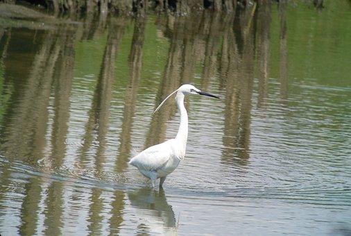 Little Egret, Bird, Water, Nature, Silver Heron, White