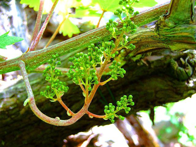 Wine Blossom, Cats Tongues, Oldest Grapevine In Europe
