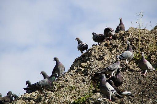 Pigeons, Meeting, Many, Mass, Quantitative, Rock, Rocky