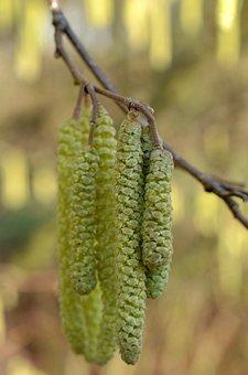 Hazel Nut Bush, Hazelnut, Pollen, Spring, Yellow, Close