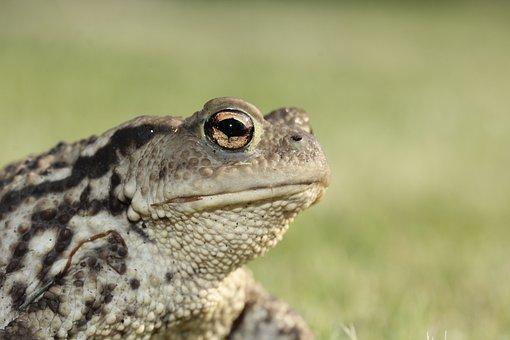 Frog, Toad, Eyes, Amphibian, Head, Portrait, Close