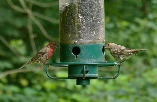 Purple Finch, Bird, Finch, Purple, Animal, Wildlife