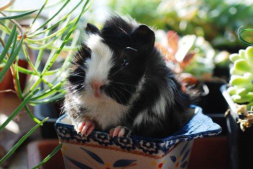 Guinea Pig, Netherlands Pig, Rodents, Mouse, Animal