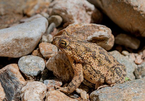 Frog, Toad, Amphibian, Tropical, Nature, Wildlife