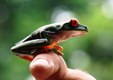 Frog, Red-eyed, Tree Frog, Nature, Rainforest