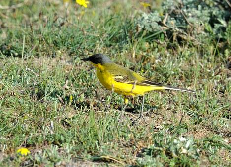 Finch, Yellow Sparrow, Bird, Yellow Tail Taunting