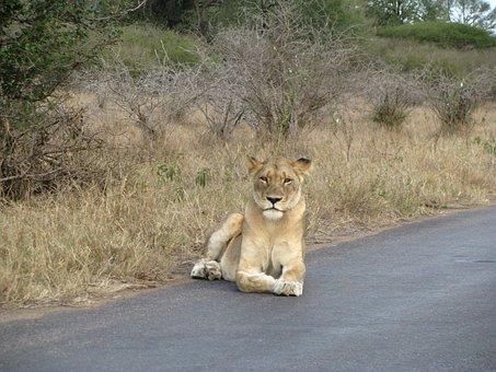 Lion, Safari, Animal, Wild, Africa, Road, Freedowm