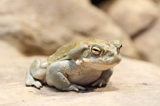 Toad, Frog, Animal, Amphibians, Fat