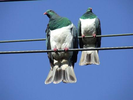 Wood Pigeon, Nz, Native, New Zealand, Bird, Doves