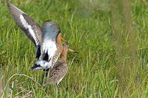 Shore Snipe, Birds, Animals, Limicoline