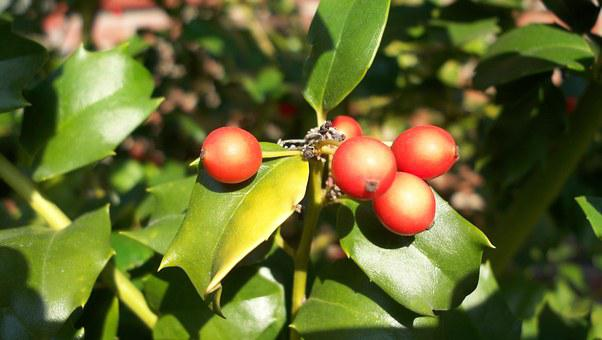 Holly, Berries, Christmas, Xmas, Red, Decoration